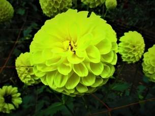 明るい黄色のダリアの写真素材 [FYI01234728]