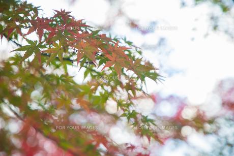 紅葉の写真素材 [FYI01234767]