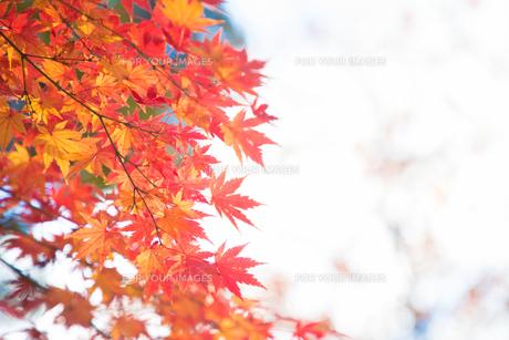 紅葉の写真素材 [FYI01234769]