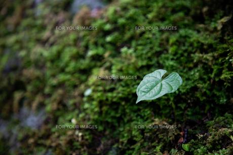 一枚の葉の写真素材 [FYI01234773]