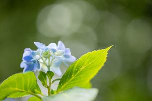 紫陽花の写真素材 [FYI01234774]