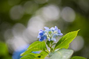 紫陽花の写真素材 [FYI01234775]