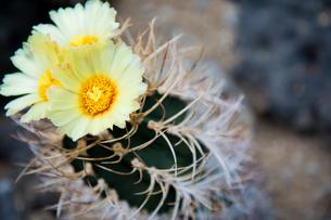 サボテンの花の写真素材 [FYI01234779]