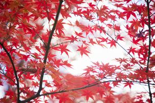 紅葉の写真素材 [FYI01234791]