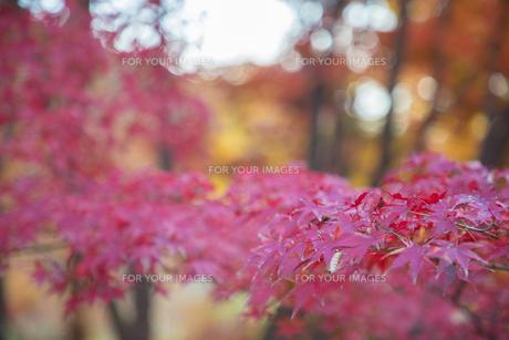 紅葉の写真素材 [FYI01234792]
