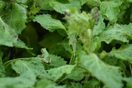 カエルの写真素材 [FYI01234822]