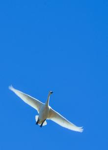 大空を舞う白鳥2の写真素材 [FYI01234845]