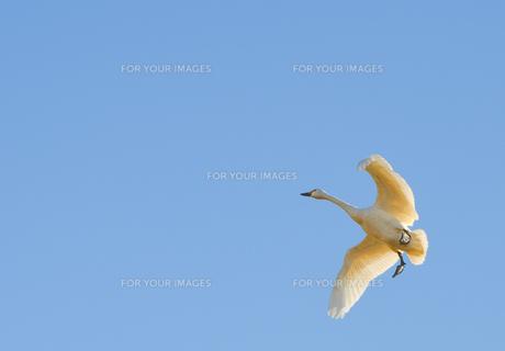 大空を舞う白鳥1の写真素材 [FYI01234846]