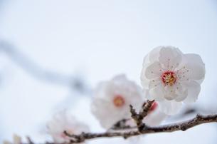 桜1の写真素材 [FYI01234868]