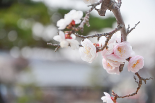 桜2の写真素材 [FYI01234870]