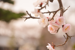 桜3の写真素材 [FYI01234871]