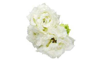 トルコキキョウの花束の写真素材 [FYI01234899]