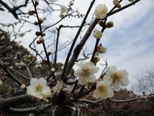 桜の写真素材 [FYI01234916]
