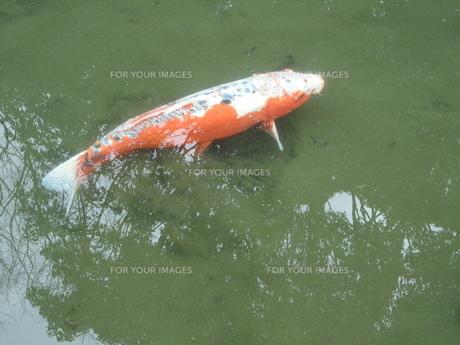 錦鯉の写真素材 [FYI01234947]