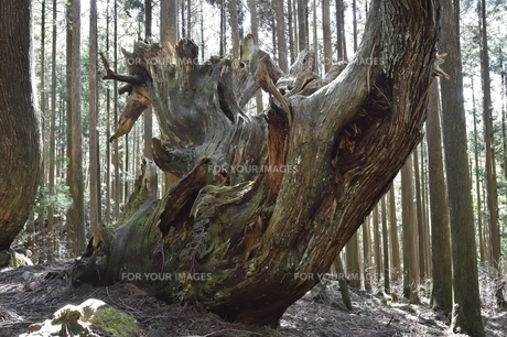 岐阜県関市板取 株杉の森の写真素材 [FYI01235037]