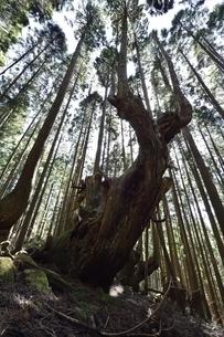 岐阜県関市板取 株杉の森の写真素材 [FYI01235038]