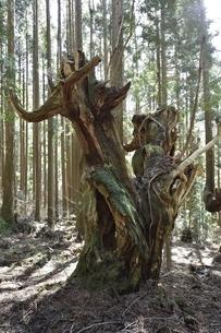 岐阜県関市板取 株杉の森の写真素材 [FYI01235040]