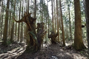 岐阜県関市板取 株杉の森の写真素材 [FYI01235041]