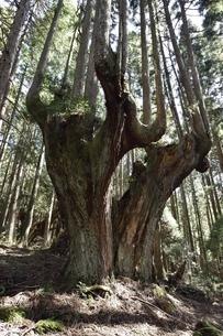 岐阜県関市板取 株杉の森の写真素材 [FYI01235042]