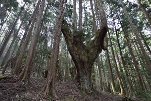 岐阜県関市板取 株杉の森の写真素材 [FYI01235044]