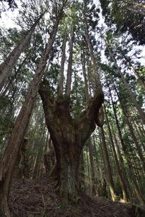 岐阜県関市板取 株杉の森の写真素材 [FYI01235045]