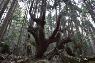 岐阜県関市板取 株杉の森の写真素材 [FYI01235046]