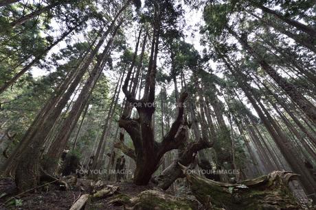 岐阜県関市板取 株杉の森の写真素材 [FYI01235047]