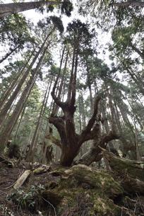 岐阜県関市板取 株杉の森の写真素材 [FYI01235048]
