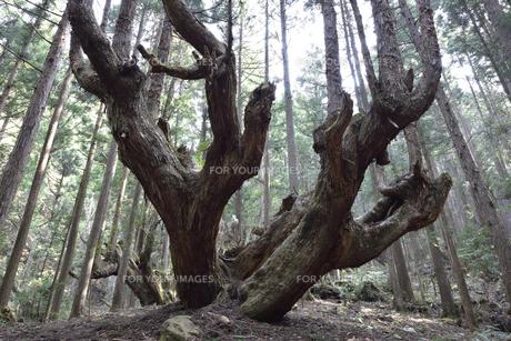 岐阜県関市板取 株杉の森の写真素材 [FYI01235049]