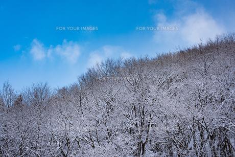 着雪した森林と青空の写真素材 [FYI01235166]