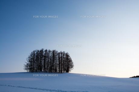 夕暮れの雪の丘のカラマツ林 美瑛町の写真素材 [FYI01235229]