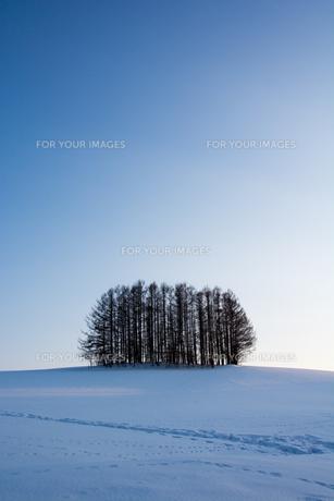 夕暮れの雪の丘のカラマツ林 美瑛町の写真素材 [FYI01235230]