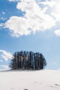 雪の丘の上のカラマツ林 美瑛町の写真素材 [FYI01235233]