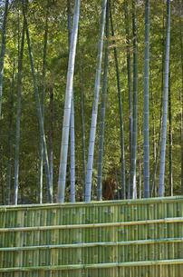 縦長の新しい竹垣のある竹林の写真素材 [FYI01235284]