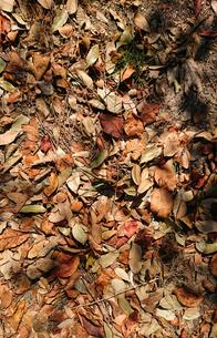 落葉の写真素材 [FYI01235337]