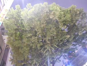仙台の青葉通りの木の写真素材 [FYI01235401]