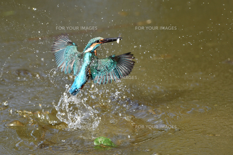 カワセミの捕食の写真素材 [FYI01235610]