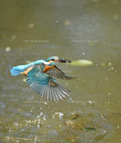 カワセミの捕食の写真素材 [FYI01235614]