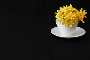 コーヒーカップに挿したユリオプスデージーの写真素材 [FYI01235668]