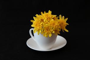 コーヒーカップに挿したユリオプスデージーの写真素材 [FYI01235669]