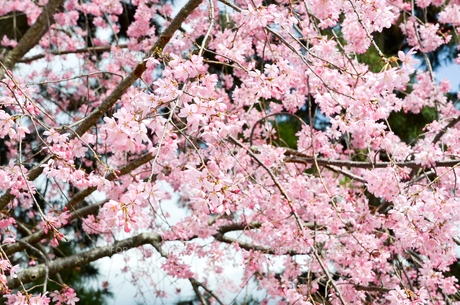 京都・賀茂川沿い 半着の道の八重桜の写真素材 [FYI01235715]