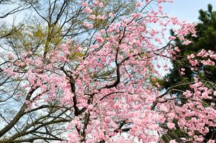 京都・賀茂川沿い 半着の道の八重桜の写真素材 [FYI01235716]