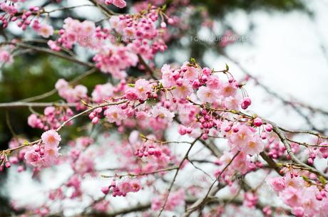 京都・賀茂川沿い 半着の道の八重桜の写真素材 [FYI01235718]