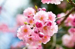 京都・賀茂川沿い 半着の道の八重桜の写真素材 [FYI01235719]