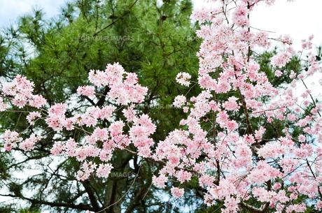 京都・賀茂川沿い 半着の道の八重桜の写真素材 [FYI01235720]