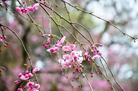 京都御苑の桜の写真素材 [FYI01235722]