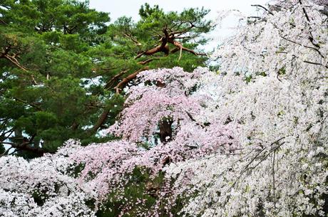 京都御苑の桜の写真素材 [FYI01235723]