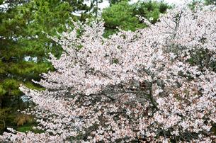京都御苑の桜の写真素材 [FYI01235732]