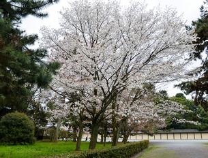 京都御苑の桜の写真素材 [FYI01235736]