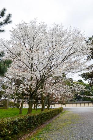 京都御苑の桜の写真素材 [FYI01235737]
